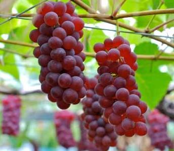 نهال انگور قرمز 5 - بی دانه