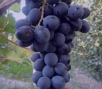 نهال انگور بلک سیدلس - بی دانه