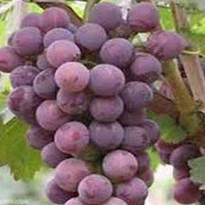 نهال انگور کندوری - زود رس