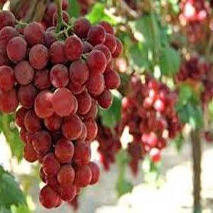 نهال انگور فیلیم سیدلس - بی دانه