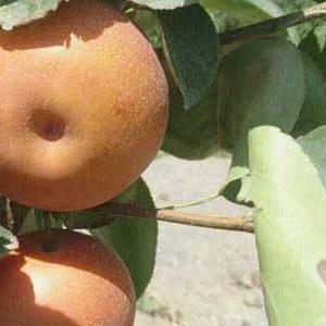 نهال گلابی پرتقالی - ناشی