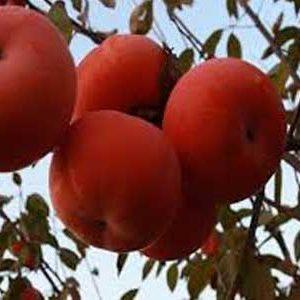 نهال خرمالو سیبی