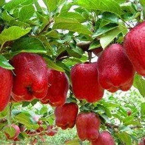 نهال سیب سوپر چف
