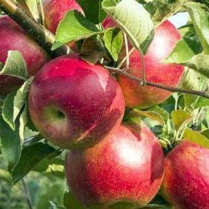 نهال سیب رندرز