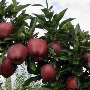 نهال سیب رد چیف