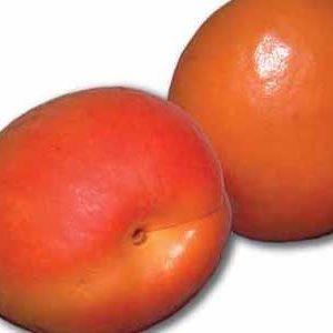 نهال زردآلو پرتقالی